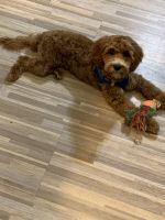 Cavapoo Puppies for sale in Ozone Park, NY 11417, USA. price: NA