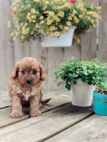 Cavapoo Puppies for sale in Seaman, OH 45679, USA. price: NA