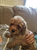 Cavapoo Puppies for sale in Port Chester, NY 10573, USA. price: NA