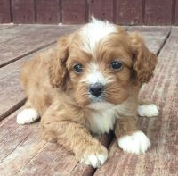 Cavapoo Puppies for sale in Minneapolis, MN, USA. price: NA