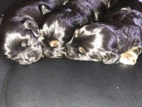 Cavapoo Puppies for sale in Hollywood, FL, USA. price: NA