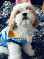 Cavapoo Puppies for sale in Las Vegas, NV, USA. price: NA