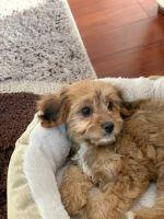 Cavapoo Puppies for sale in Harrisonburg, VA, USA. price: NA