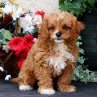 Cavapoo Puppies for sale in Elizabeth, NJ, USA. price: NA