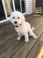 Cavapoo Puppies for sale in Allendale Charter Twp, MI, USA. price: NA
