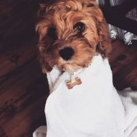 Cavapoo Puppies for sale in Frederick, MD, USA. price: NA