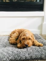 Cavapoo Puppies for sale in Madison, WI, USA. price: NA