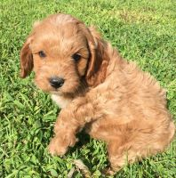 Cavapoo Puppies for sale in New Holland, PA 17557, USA. price: NA