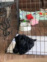 Cavapoo Puppies for sale in Fountain Valley, CA 92708, USA. price: NA