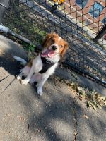 Cavapoo Puppies for sale in Brooklyn, NY, USA. price: NA