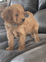 Cavapoo Puppies for sale in Shipshewana, IN 46565, USA. price: NA