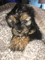 Cavapoo Puppies for sale in Manchester, TN 37355, USA. price: NA