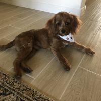 Cavapoo Puppies for sale in Peoria, AZ, USA. price: NA