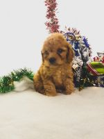 Cavapoo Puppies for sale in Topeka, IN 46571, USA. price: NA