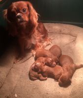 Cavapoo Puppies for sale in Lancaster, MO 63548, USA. price: NA