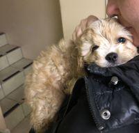 Cavapoo Puppies for sale in Atlanta, GA, USA. price: NA