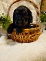 Cavapoo Puppies for sale in 105 Orchard Dr, Chickasha, OK 73018, USA. price: NA