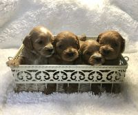 Cavapoo Puppies for sale in Plain City, OH 43064, USA. price: NA