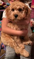 Cavapoo Puppies for sale in Knoxville, TN, USA. price: NA