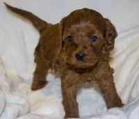 Cavapoo Puppies for sale in Schaumburg, IL, USA. price: NA