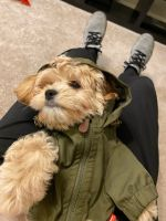 Cavapoo Puppies for sale in 5764 Stevens Forest Rd, Columbia, MD 21045, USA. price: NA