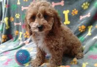 Cavapoo Puppies for sale in Albany, GA, USA. price: NA