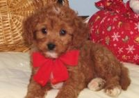 Cavapoo Puppies for sale in Lansing, MI, USA. price: NA