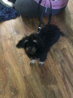Cavapoo Puppies for sale in 70471 LA-21, Covington, LA 70433, USA. price: NA