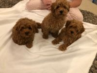 Cavapoo Puppies for sale in Chicago, IL, USA. price: NA