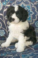 Cavapoo Puppies for sale in Kingman, AZ, USA. price: NA