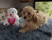 Cavapoo Puppies for sale in 1354 N G St, San Bernardino, CA 92405, USA. price: NA