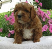 Cavapoo Puppies for sale in New Providence, PA 17560, USA. price: NA