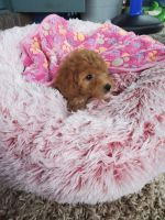 Cavapoo Puppies for sale in Beaver County, PA, USA. price: NA