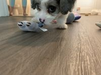 Cavapoo Puppies for sale in Laguna Niguel, CA, USA. price: NA