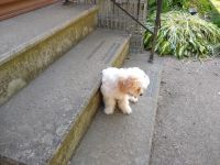 Cavapoo Puppies for sale in Lagrange, OH 44050, USA. price: NA