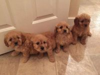 Cavapoo Puppies for sale in Waldorf, MD, USA. price: NA