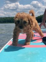 Cavapoo Puppies for sale in Hudson Valley, NY, USA. price: NA