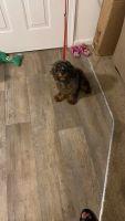 Cavapoo Puppies for sale in Chesapeake, VA 23321, USA. price: NA