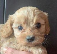 Cavapoo Puppies for sale in Evanston, WY 82930, USA. price: NA