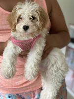 Cavapoo Puppies for sale in Trumbull, CT 06611, USA. price: NA