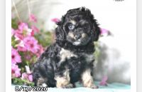 Cavapoo Puppies for sale in Columbus, OH 43204, USA. price: NA