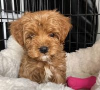 Cavapoo Puppies for sale in Miami, FL, USA. price: NA
