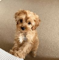 Cavapoo Puppies for sale in Louisiana, MO 63353, USA. price: NA