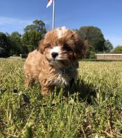 Cavapoo Puppies for sale in New Orleans, LA, USA. price: NA
