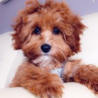 Cavapoo Puppies for sale in Walled Lake, MI 48390, USA. price: NA
