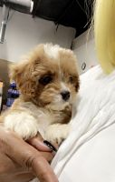 Cavapoo Puppies for sale in Athens, GA, USA. price: NA