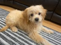 Cavapoo Puppies for sale in Brentwood, TN 37027, USA. price: NA