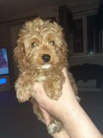 Cavapoo Puppies for sale in Greenville, SC, USA. price: NA