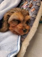 Cavapoo Puppies for sale in Oakland, CA, USA. price: NA
