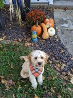 Cavapoo Puppies for sale in Marion, IL, USA. price: NA